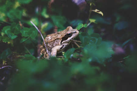Small common frog, Rana temporia, in the woods between blurred dark green leaves, Austria Stock Photo