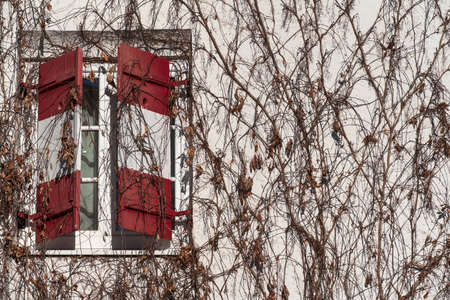Half open traditional window shutters of a guesthouse with red white Austrian flag at wall rambeled with leafless ivy