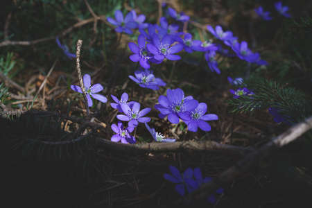 Wild blooming purple sunlit liverwort flowers in the forest as the first flowers in springtime, Austria