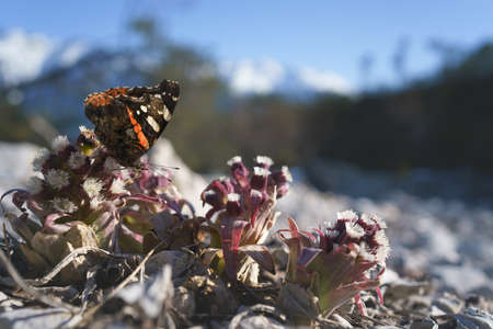Red Admiral butterfly - Vanessa atalanta - sitting on purple blooming thistle in alpine landscape, Austria