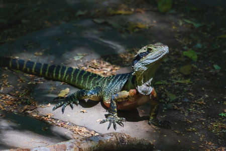 Sunlit colorful lizard, the Australian water dragon, Intellagama lesueurii, in the forest in the Blue Mountains in Katoomba, New South Wales, Australia