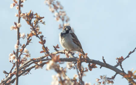 Close up of house sparrow, Passer domesticus, on blooming plum tree in the early morning in springtime with alpine snow mountains, Austria