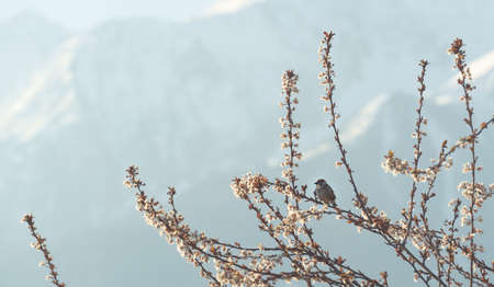 House sparrow, Passer domesticus, on blooming plum tree in the early morning in springtime with alpine snow mountains, Austria