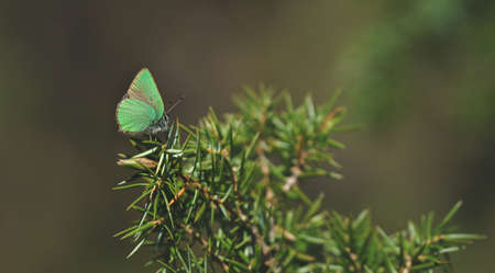 Peaceful springtime scene with close up of green hairstreak butterfly in a evergreen forest on a juniper bush, Tirol, Austria