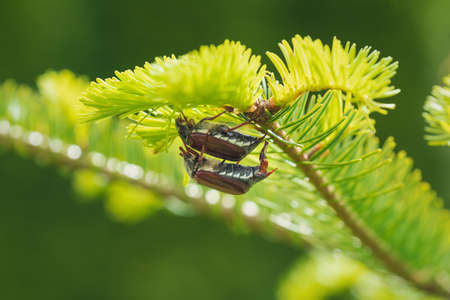 Mating cockchafers or may bugs on a sunny evergreen tree, these bugs are breeding every two years and are a danger for agriculture as they eat leaves and buds, Austria, Europe Stock Photo