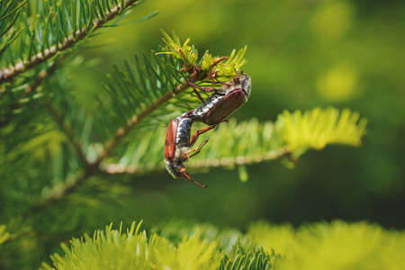Hanging cockchafers or may bugs while breeding on a sunny evergreen tree, these bugs are breeding every two years and are a danger for agriculture as they eat leaves and buds, Austria, Europe