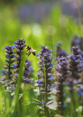 Bee flying around purple common bugle flowers, latin name ajuga, collecting pollen in sunny meadow, Austria