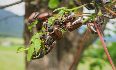 Many cockchafers or may bugs eating on a almost leafless apple tree, these bugs are breeding every two years and are a danger for agriculture as they eat leaves and buds, Austria, Europe