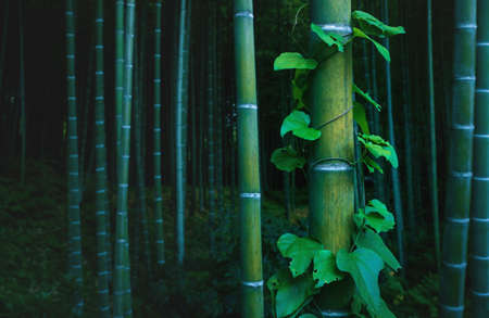 Bamboo trunk covered with lush envy in mystical forest at Arashiyama grove in Kyoto, Japan Stock Photo