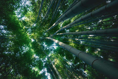 View into treetop of huge bamboo trunks in lush sunny forest at Arashiyama in Kyoto, Japan