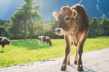 Cute sunlit with backlight calf from the brown cattle breed on an alpine pasture meadow with crazing cows in the mountains, Mieming, Tirol, Austria