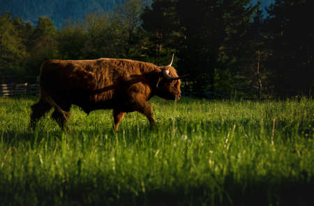 Red Scottish highland cattle in alpine mountain landscape on sunlit meadow along evergreen forest during sunset in Mieming, Tirol, Austria