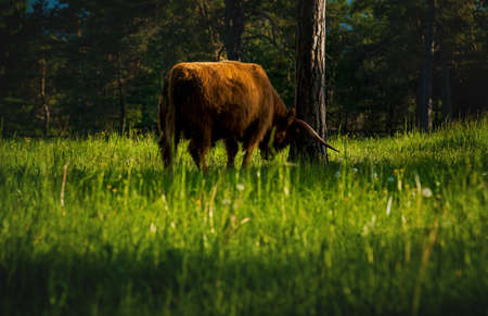 Highland cattle rubbing horns on tree in alpine mountain landscape on sunlit meadow along evergreen forest during sunset in Mieming, Tirol, Austria