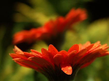 Orange gerber daisy isolated on a natur background  Stock Photo
