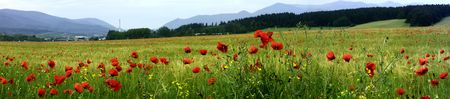 Panorama - red poppy in cornfield Stock Photo