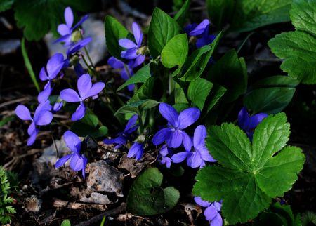 Violets Stock Photo - 2981524