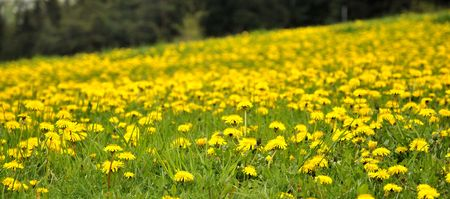 Dandelion meadow Stock Photo - 3090476