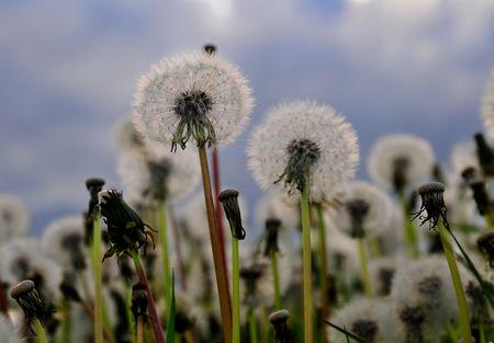 Dandelion meadow Stock Photo - 3090478
