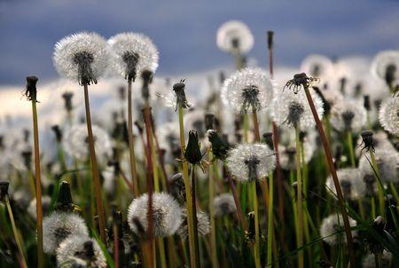 Dandelion meadow Stock Photo - 3090480