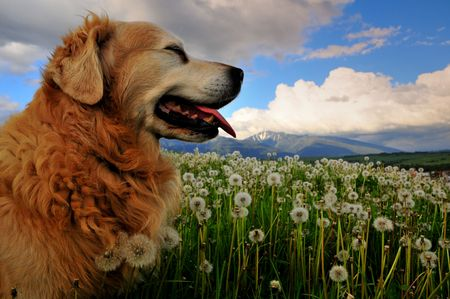 Dog on dandelion meadow Stock Photo - 3090482
