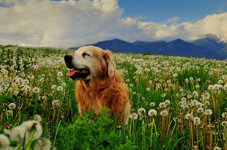 Dog on dandelion meadow Stock Photo - 3090481
