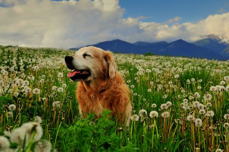Dog on dandelion meadow Stock Photo - 3090481