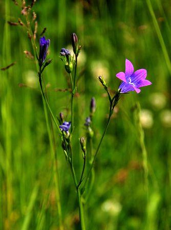 Bluebells - Campanula rotundifolia Stock Photo - 3248274