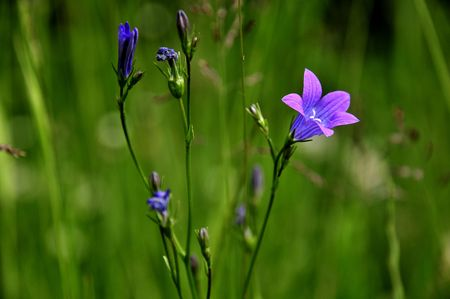 Bluebells - Campanula rotundifolia Stock Photo - 3248288