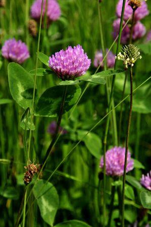 trifolium: Clover - Trifolium pratense Stock Photo