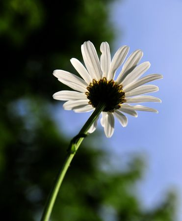 White daisy and blue sky Stock Photo - 3248275