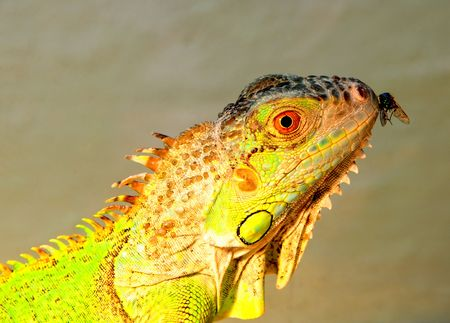 Leguan and fly photo