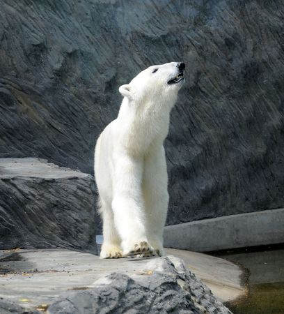 wet bear: Polar bear