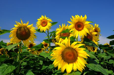 Sunflower in a field of sunflowers Stock Photo
