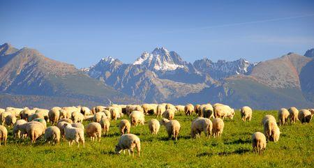 shepherd sheep: Sheeps under Slovac mountains Stock Photo