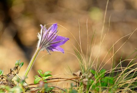 earliest: Common pasque flower (pulsatilla vulgaris), one of the earliest flowers in spring
