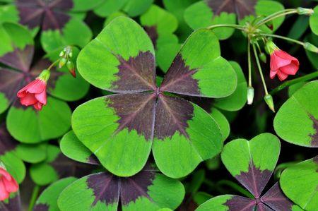 four leaf: Tr�bol de cuatro hojas