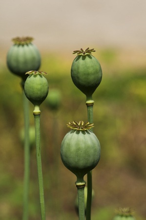 Green bean wild poppies photo