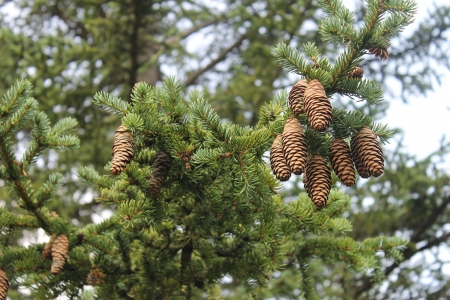 Tree with cones photo