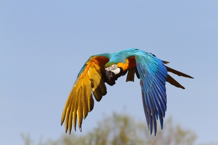 details of a blue and yellow macaw in flight