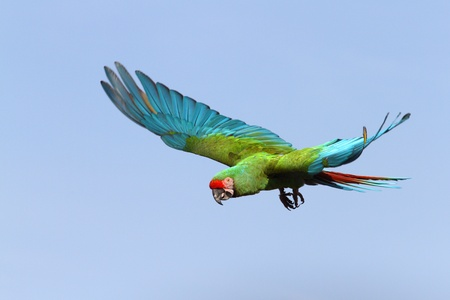 details of a Military Macaw in flight