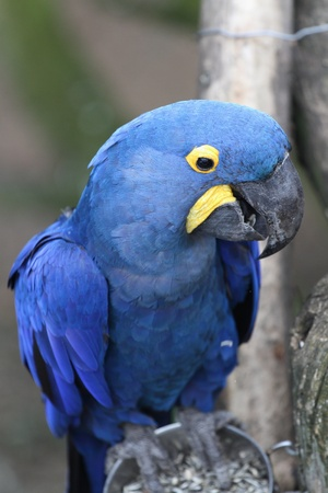 details of a  Hyacinth Macaw photo