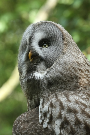 Detail of a great gray owl Stock Photo - 9397587