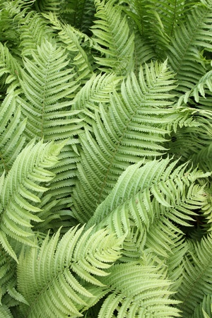 details of fern plants