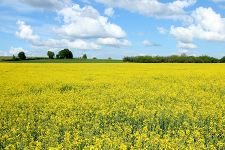 details of of a rape field with a blue sky