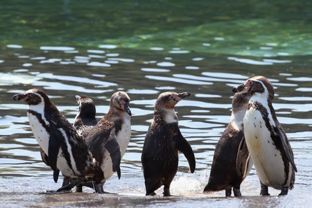 details of a colony of Humboldt Penguin