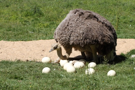 details of a female ostrich incubating eggs in a shallow nest on the ground photo