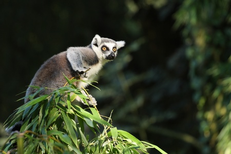Detalles de un lemur catta