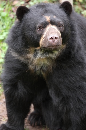 spectacled: details  of a spectacled bear