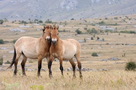 mongolia horse: details of Przewalskis Horse