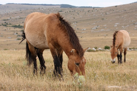 details of Przewalskis Horse